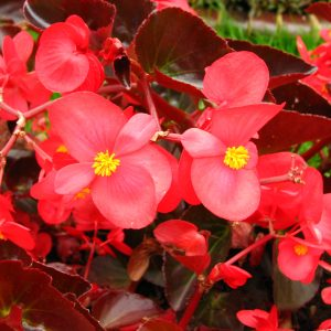 broad leaf begonia