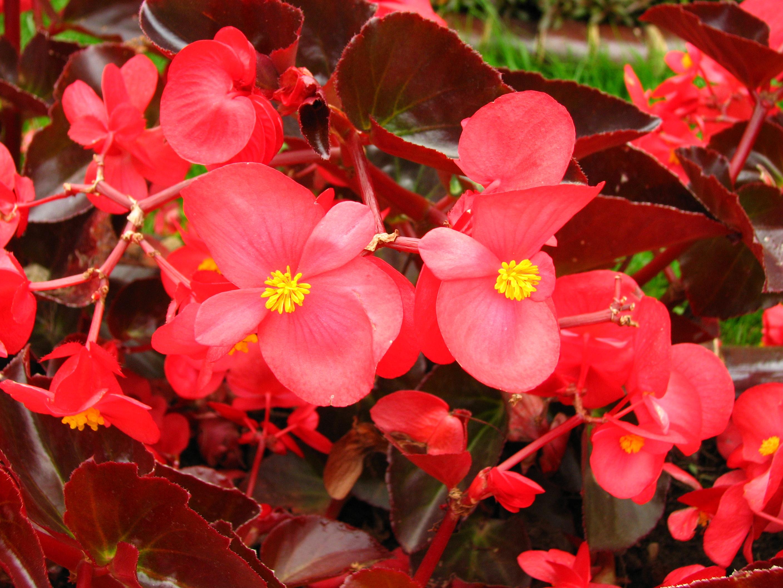 broad leaf begonia