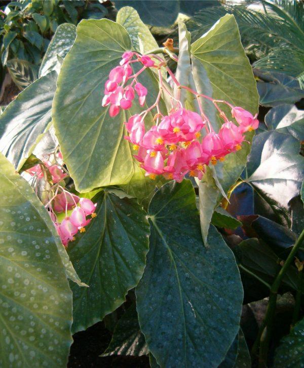 dragon leaf begonia