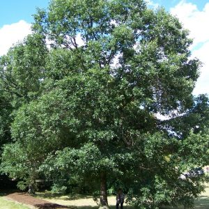 swamp white oak tree