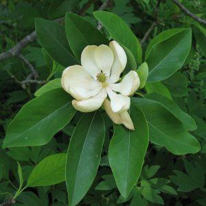 magnolia privacy screen