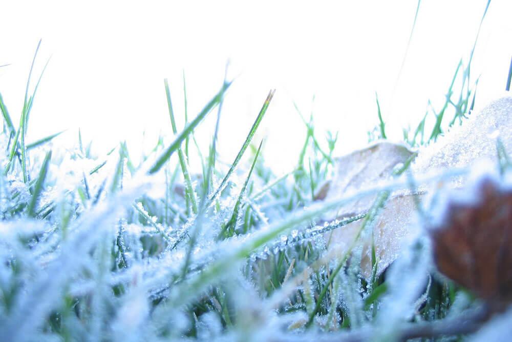 Blades of grass in winter snow