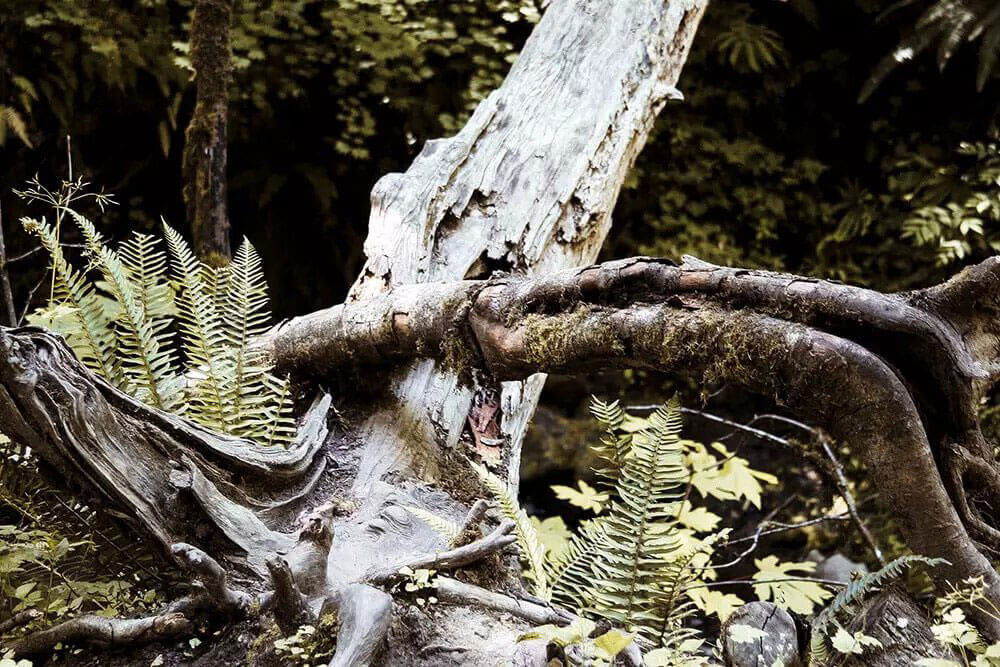 Dead tree sitting in the woods