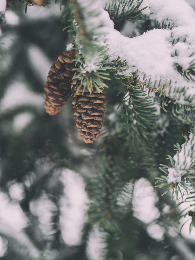 Snow on pinecones in winter