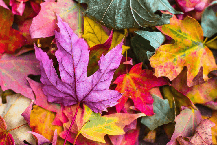 Colored leaves in a yard